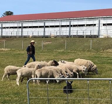 羊と牧羊犬